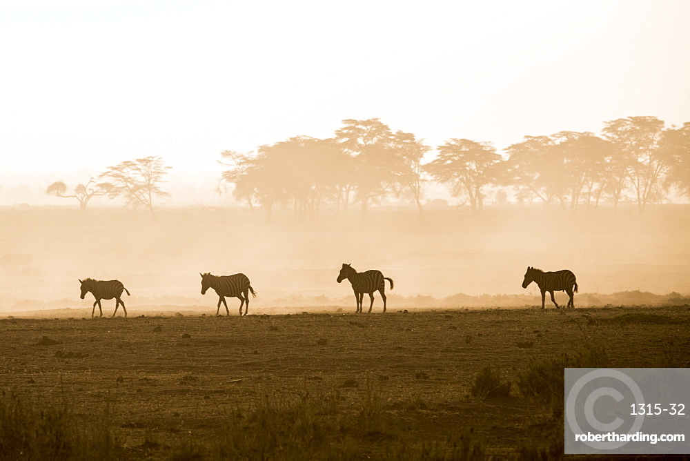 Zebras on the move at dusk across the dusty landscape of Amboseli National Park, Kenya, East Africa, Africa
