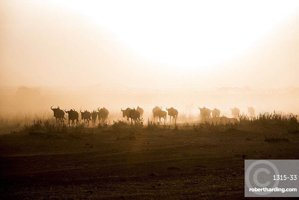 Wildebeests and zebras on the move at dusk across the dusty landscape of Amboseli National Park, Kenya, East Africa, Africa