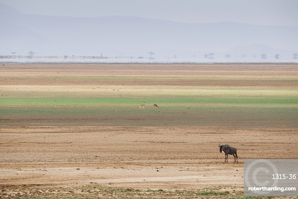 Wildebeest on the stripes of a salt flat in Amboseli National Park, Kenya, East Africa, Africa