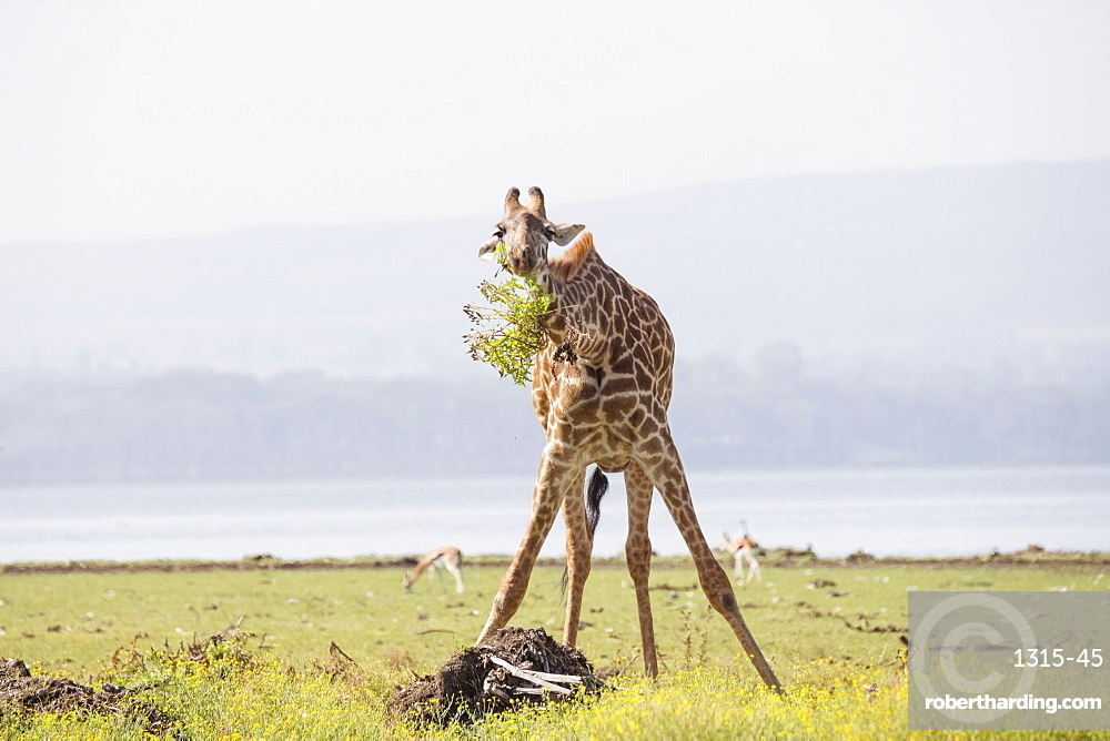 Giraffe munching leaves in the early morning, Crescent Island Game Sanctuary, Lake Naivasha, Great Rift Valley, Kenya, East Africa, Africa