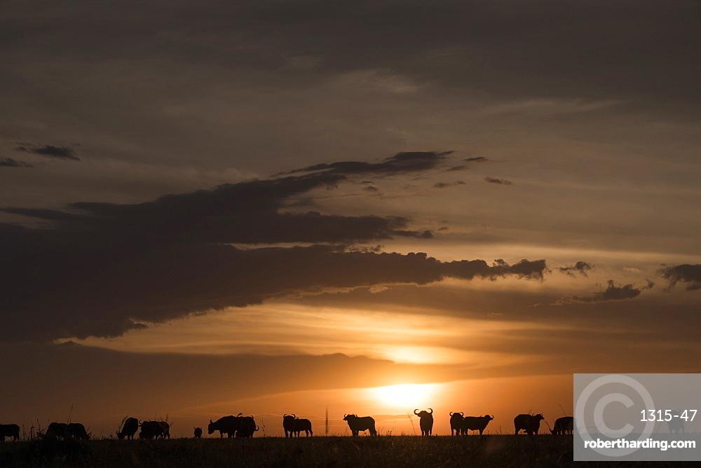 Cape buffalo at sunset on the Maasai Mara, Kenya, East Africa, Africa