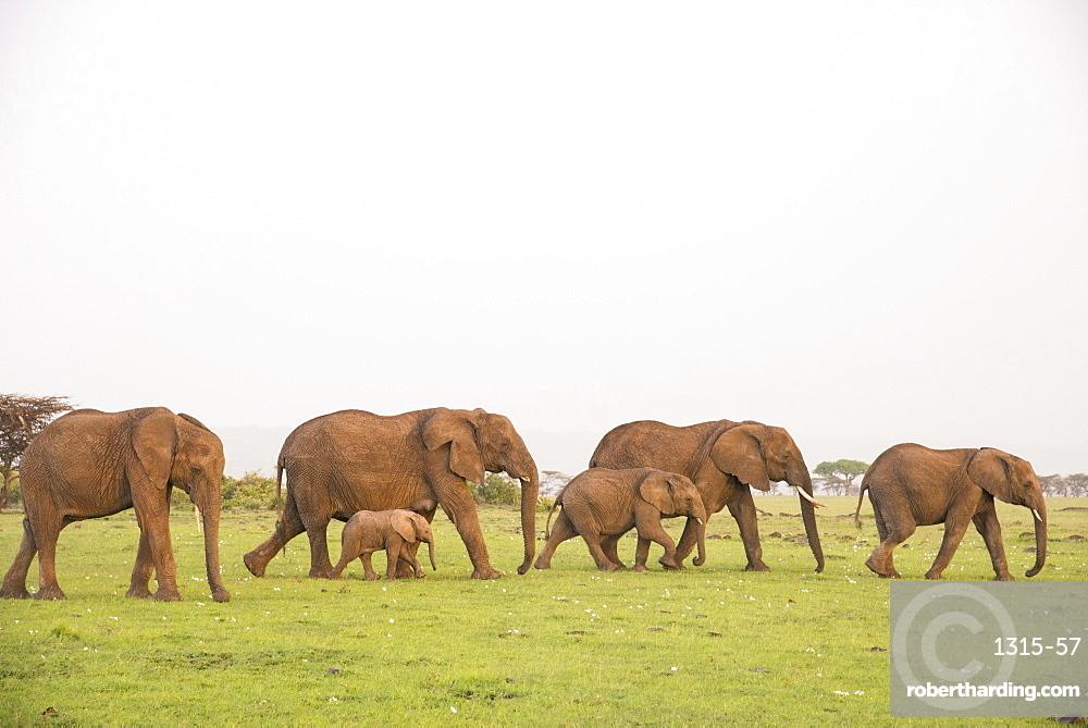 Herd of elephants on the move, Maasai Mara, Kenya, East Africa, Africa