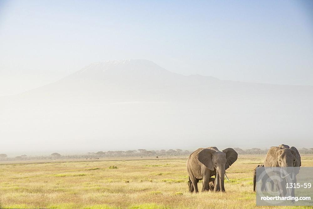 Elephants in front of Mount Kilimanjaro, shrouded in morning mist, Amboseli National Park, Kenya, East Africa, Africa