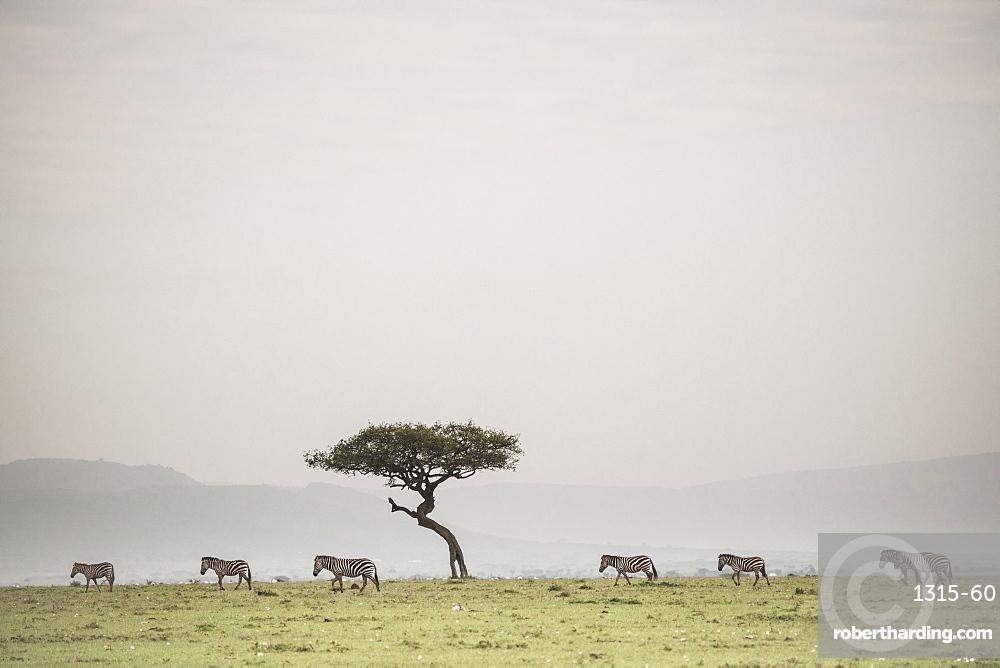 Zebras on the Maasai Mara, Kenya, East Africa, Africa