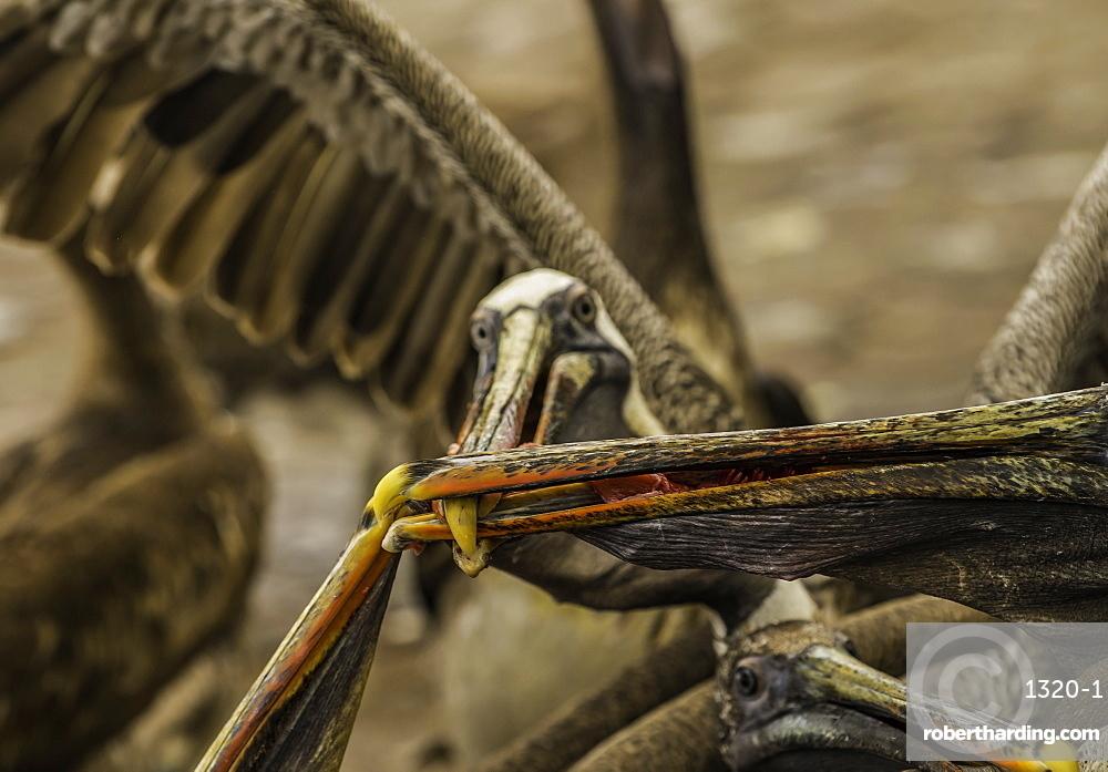 Pelicans battle for a fish on the island of Santa Cruz in the Galapagos, Ecuador, South America