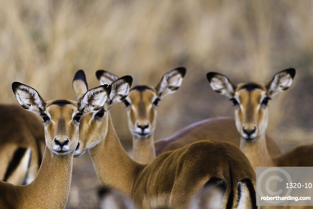 A herd of Impala look curiously at the camera, South Luangwa National Park, Zambia