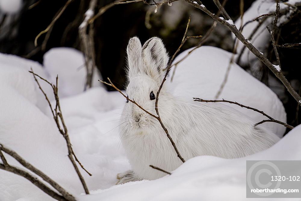 White Snowshoe Hare sitting in its snowy burrow, Denali National Park, Alaska