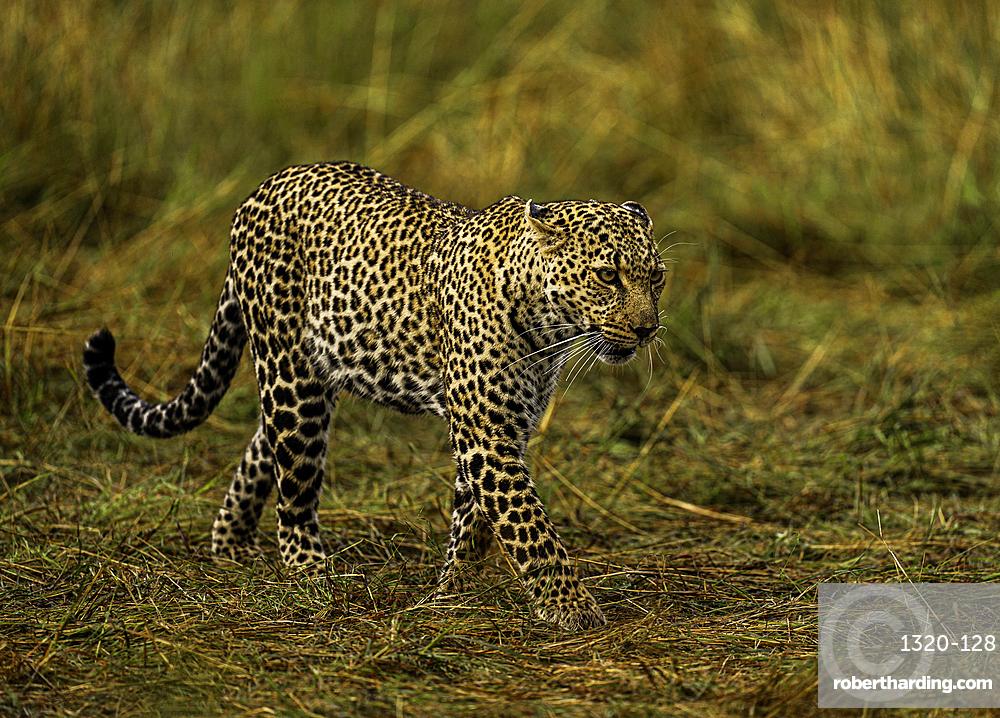 A Leopard, Panthera pardus, in the Maasai Mara National Reserve, Kenya.