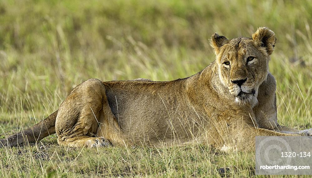 A Lion, Panthera leo, in Amboseli National Park, Kenya.