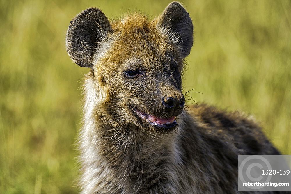 A Hyena, Hyaenidae, in Amboseli National Park, Kenya.