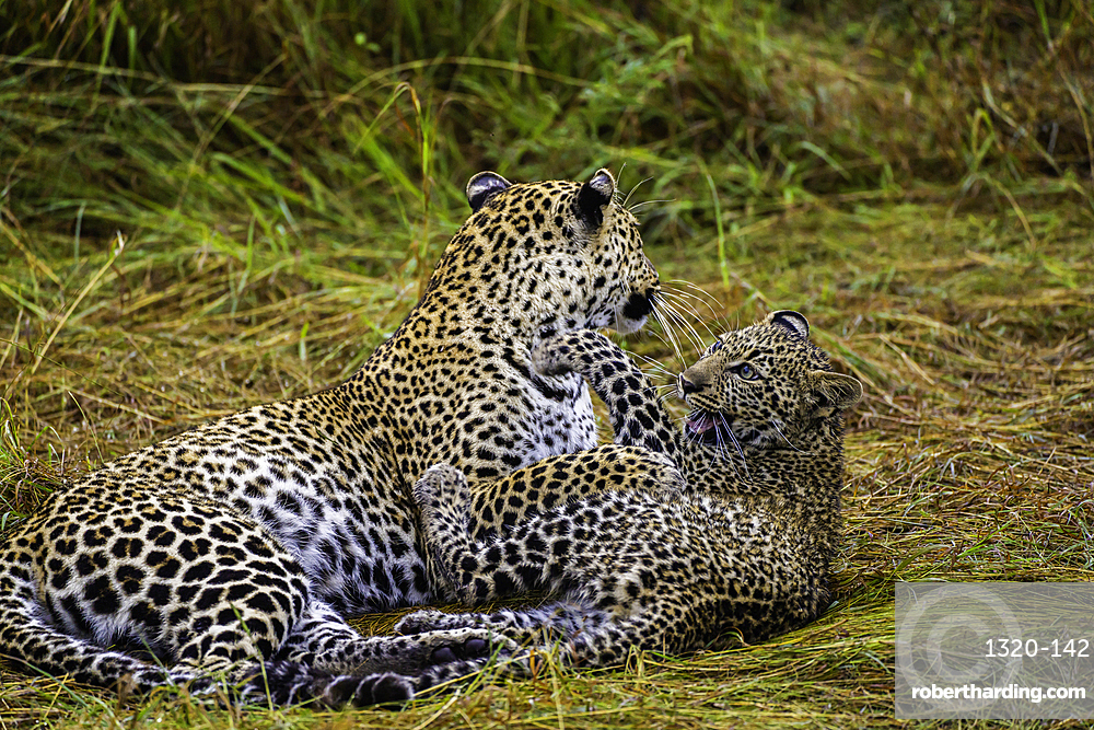 A Leopard and cub, Panthera pardus, in the Maasai Mara National Reserve, Kenya.
