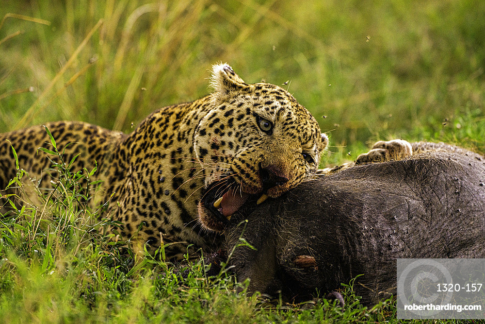A Leopard, Panthera pardus, eating a warthog in the Maasai Mara National Reserve, Kenya.