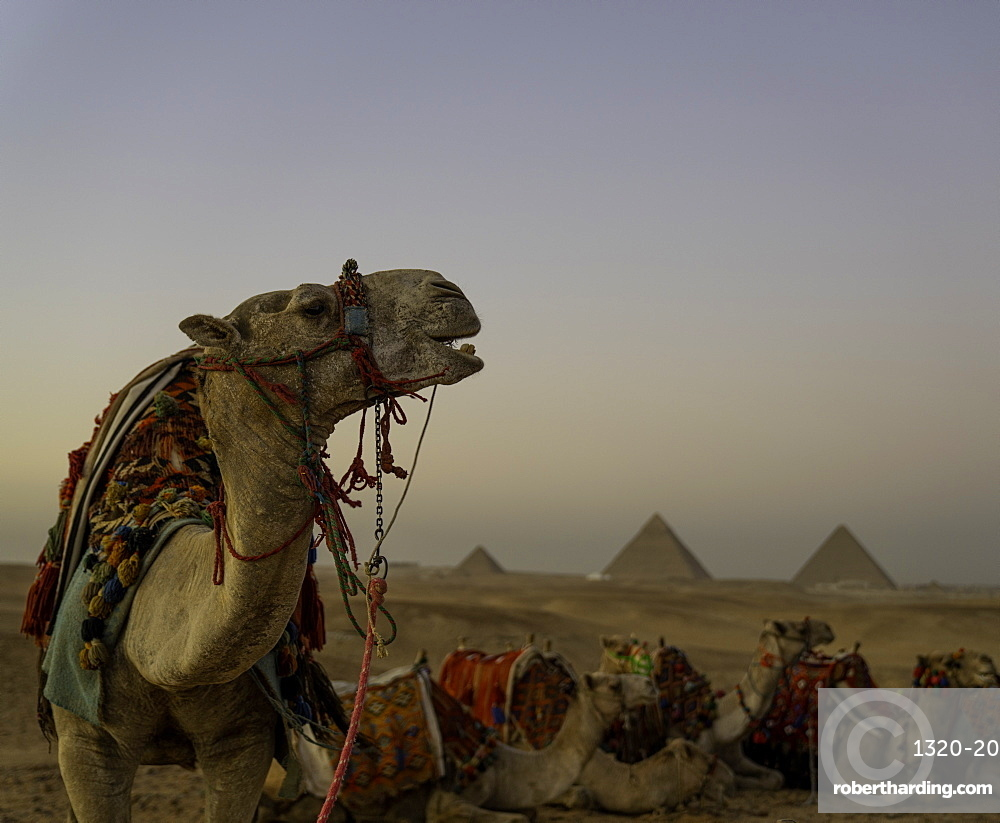 The Pyramids of Giza with Camel, Cairo Egypt