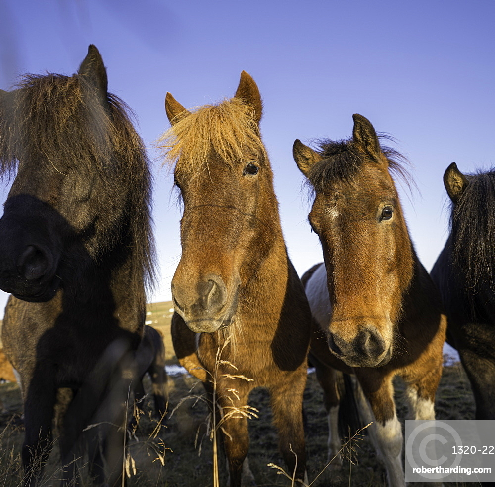 Group of horses posing for a portrait in a field, Iceland, Polar Regions
