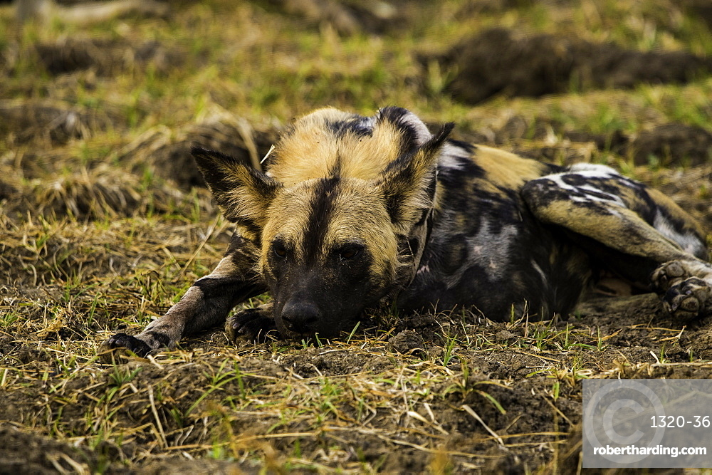 African Wild Dog rests in grass pasture, South Luangwa National Park, Zambia