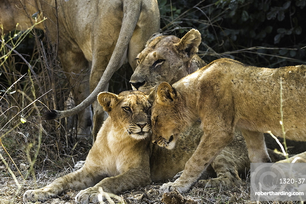 Young Lion affectionately head butts its sibling, South Luangwa National Park, Zambia, Africa
