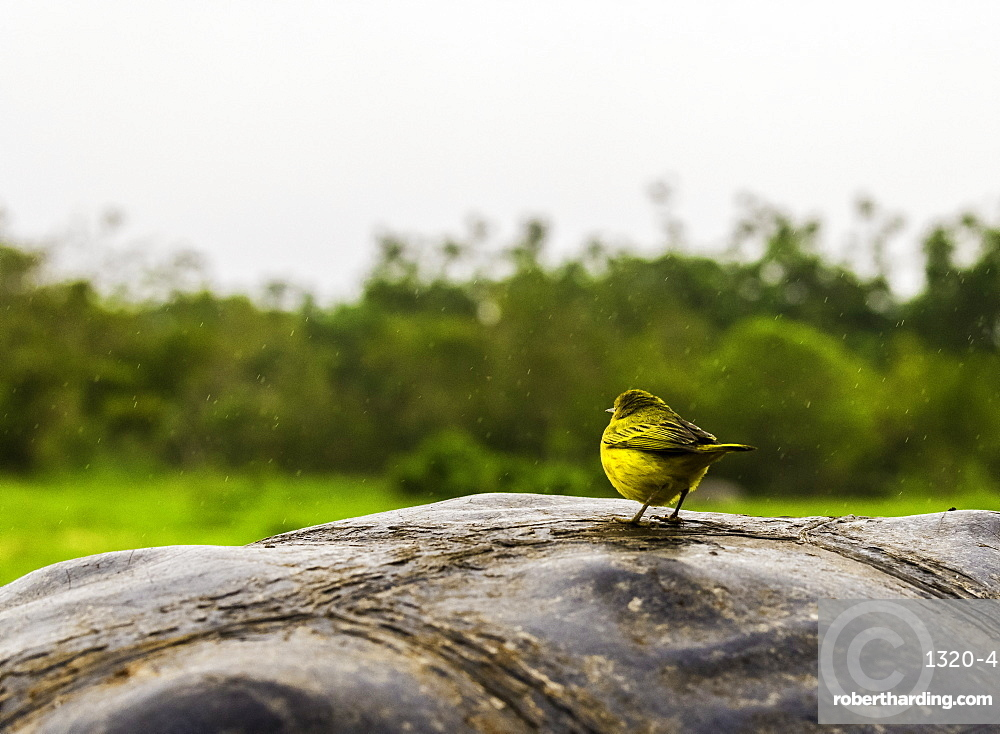 Galapagos Finch on Giant Tortoise shell, Ecuador, South America