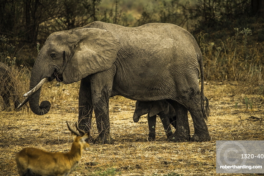 Mother Elephant and her offspring walk through pasture as an impala looks on, South Luangwa National Park, Zambia