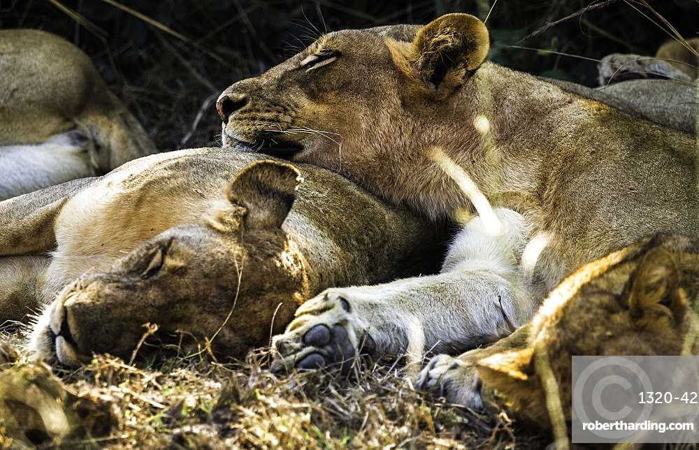 A pride of Lions nap under a shady bush, South Luangwa National Park, Zambia, Africa