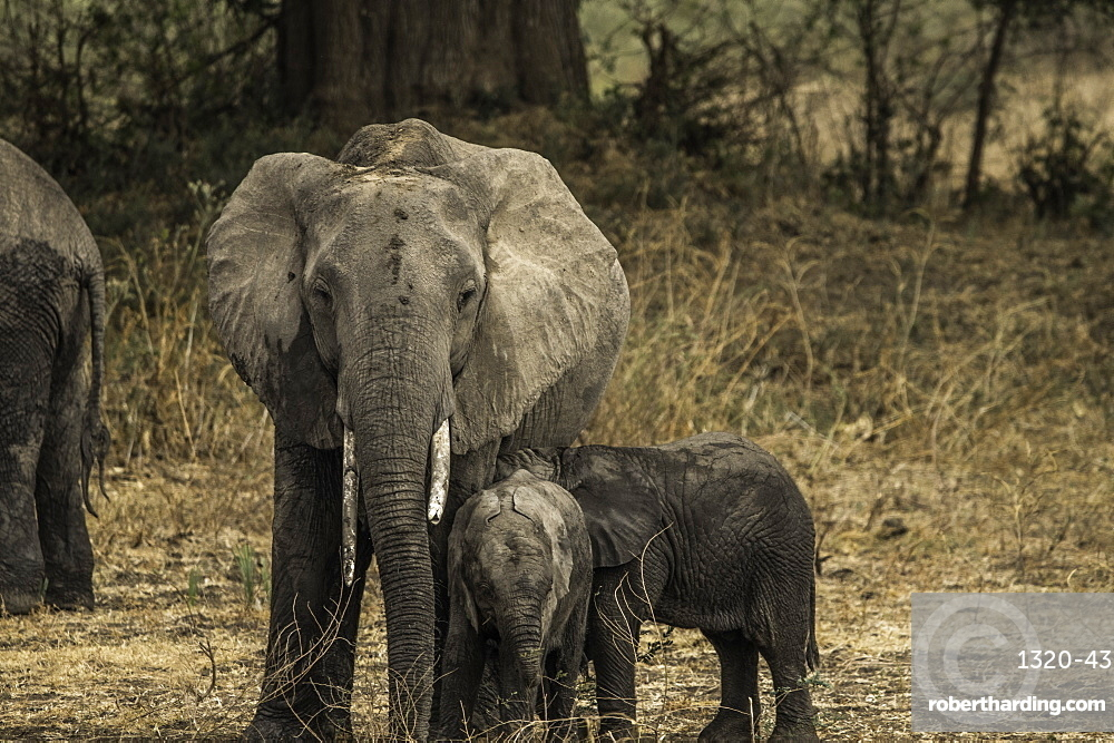 Mother Elephant and her two offspring walk through pasture, South Luangwa National Park, Zambia