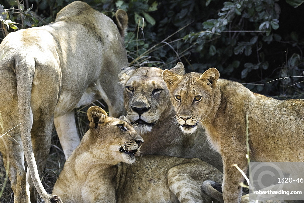 A pride of Lions rest under a shady bush, South Luangwa National Park, Zambia