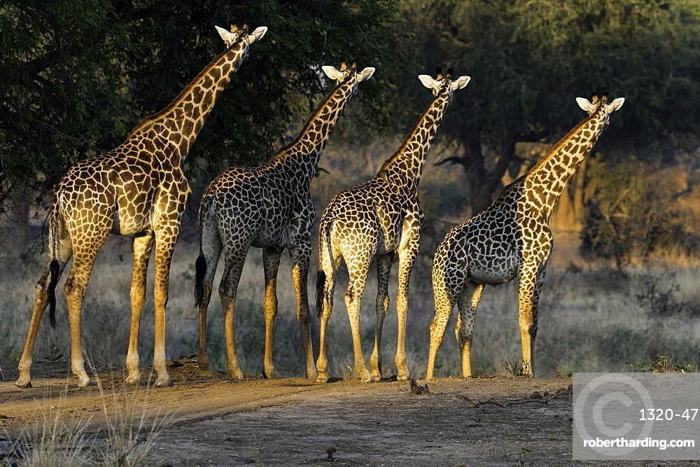 Herd of Giraffe stare off into the distance, South Luangwa National Park, Zambia, Africa