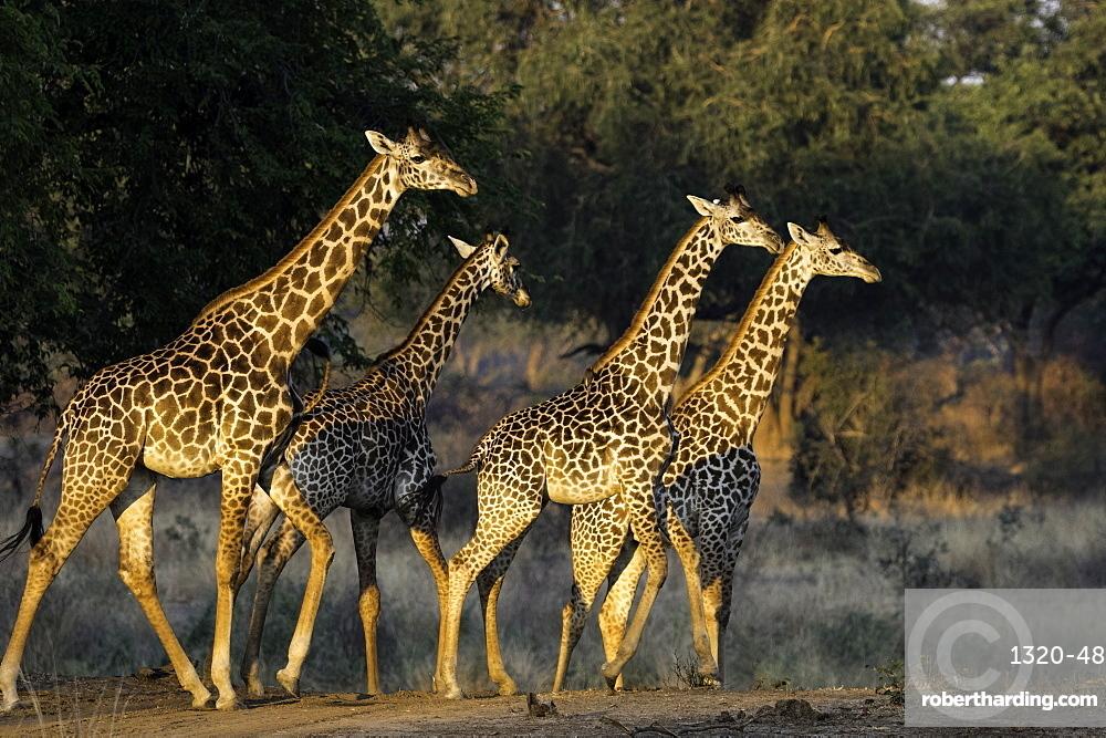 Herd of Giraffe walk through open pasture, South Luangwa National Park, Zambia, Africa