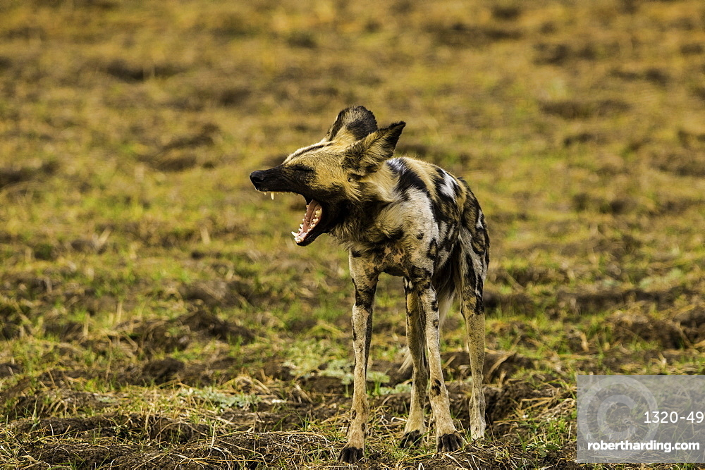 African Wild Dog yawns in grass pasture, South Luangwa National Park, Zambia