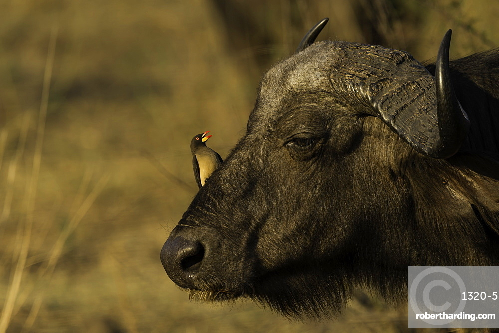 Red Billed Oxpecker sitting on the head of an African Cape Buffalo, South Luangwa National Park, Zambia.