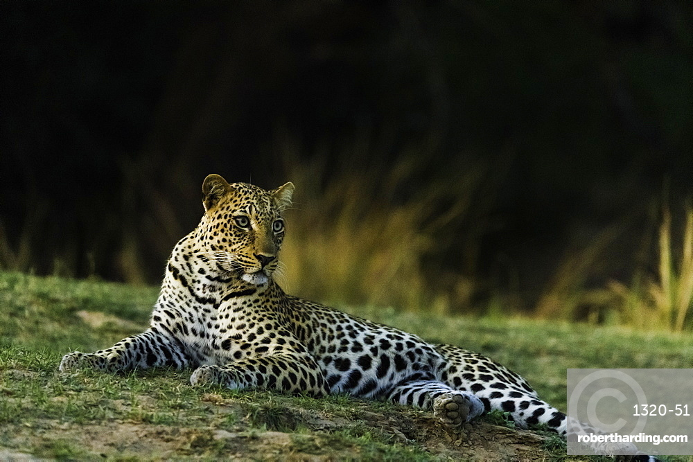 Camouflaged Leopard rests in grass patch as it turns dusk, in South Luangwa National Park, Zambia
