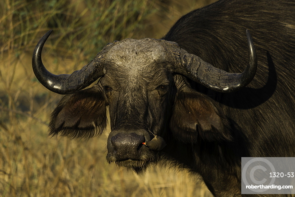 African Cape Buffalo looks onward as Oxpecker inspects its nose, South Luangwa National Park, Zambia