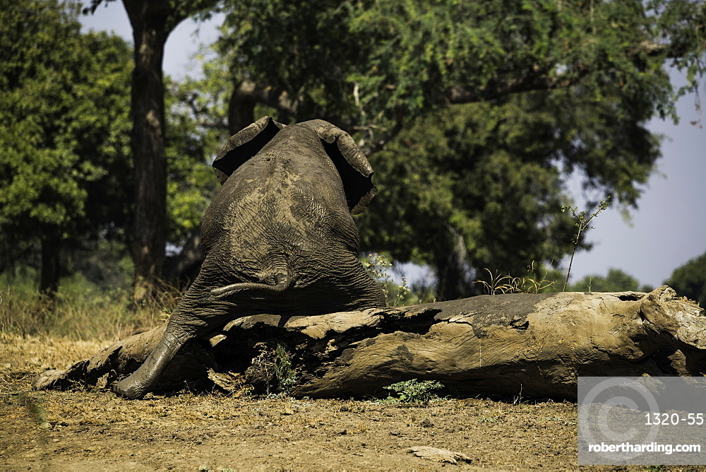 African Elephant scratching its behind on a log, South Luangwa National Park, Zambia