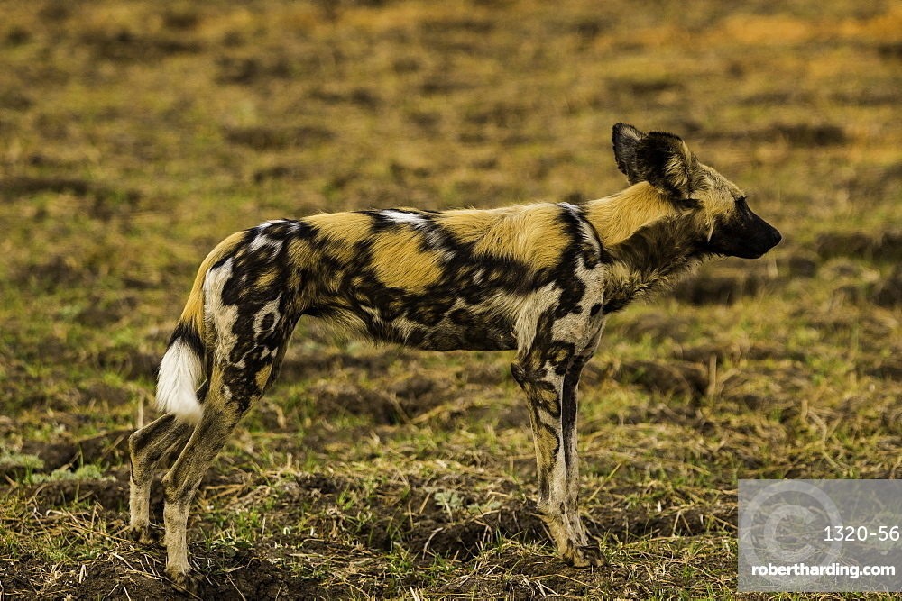 African Wild Dog stands poised in grass pasture, South Luangwa National Park, Zambia, Africa
