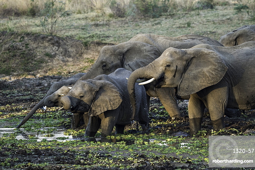 Group of African Elephants drinking at watering hole, South Luangwa National Park, Zambia