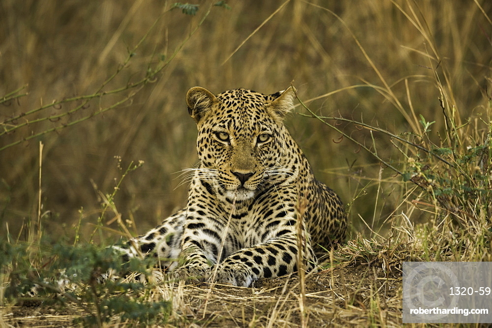 Camouflaged Leopard rests in brush and tall grass, South Luangwa National Park, Zambia