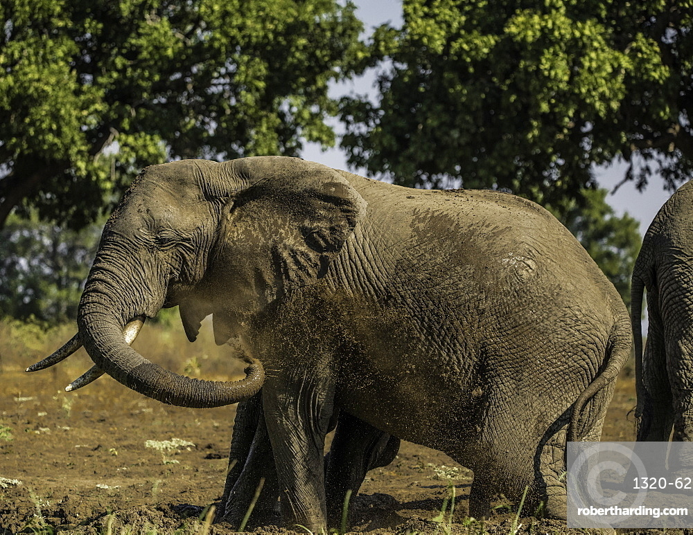 African Elephant sprays itself with muddy water to keep cool during a heatwave, South Luangwa National Park, Zambia, Africa