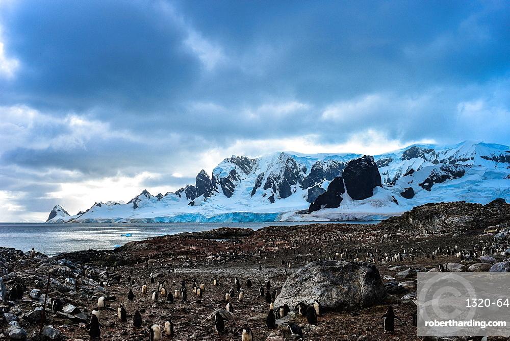 Colony of Antarctic Gentoo Penguins on rocky beach