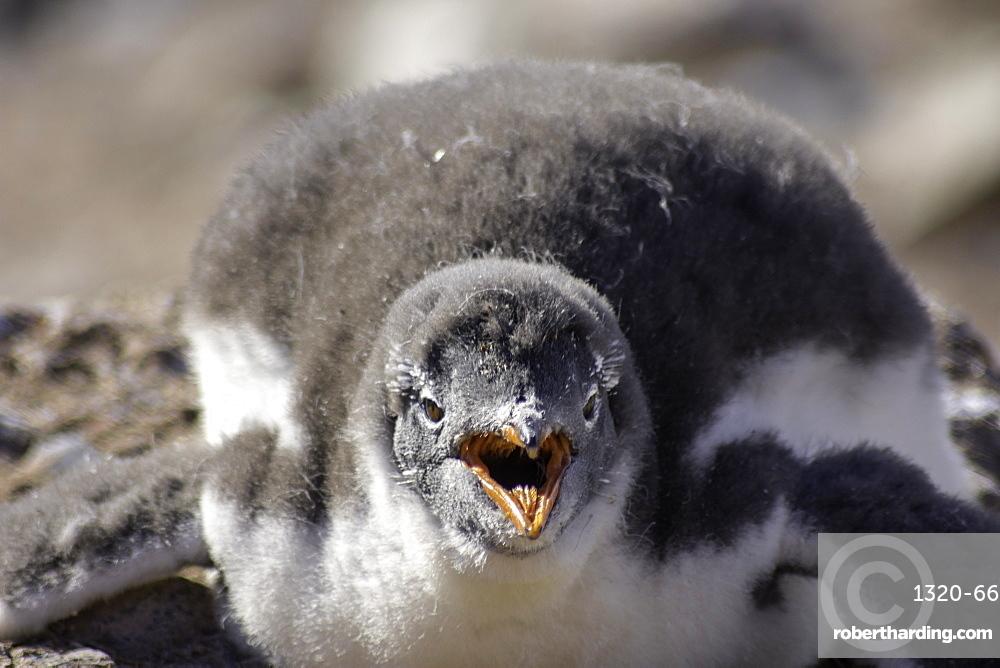 Antarctic Gentoo Penguin panting due to summer heat wave, Antarctica