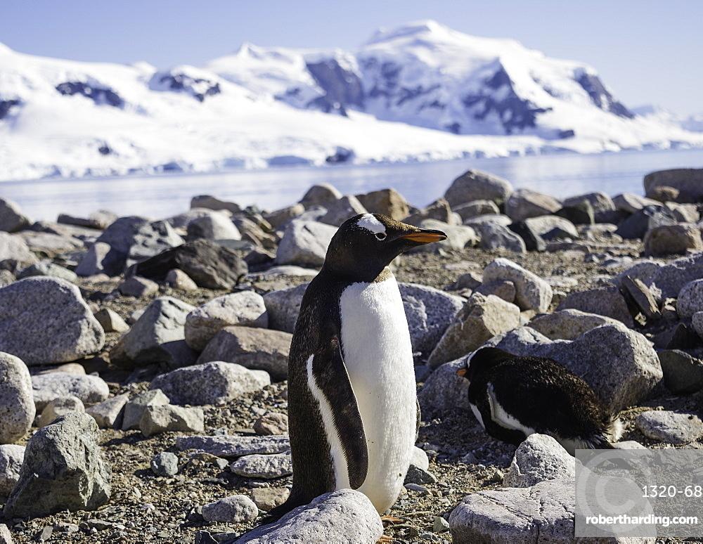 Antarctic Gentoo Penguin standing among rocks on beach, Antarctica, Polar Regions