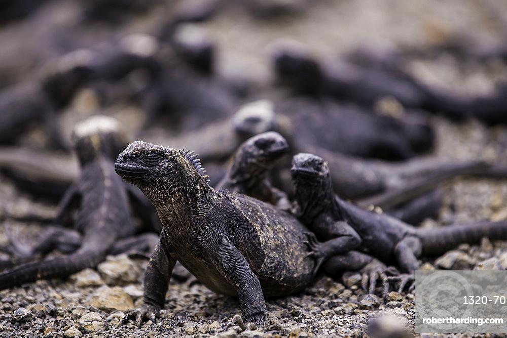 Grouping of Sea Iguanas resting on each other, Isabela Island, Galapagos