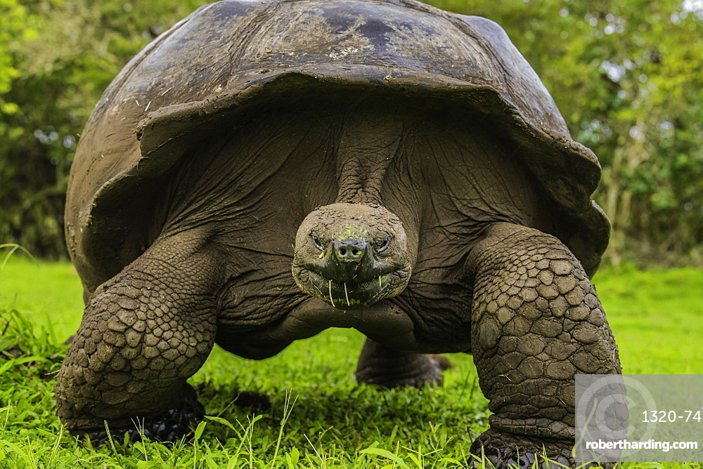 Giant Tortoise feeding on grass, Giant Tortoise Reserve, Santa Cruz, Galapagos, Ecuador, South America