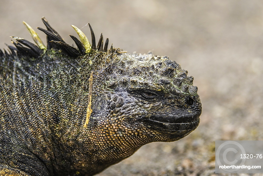 Sea Iguana resting on rocky beach, Isabela Island, Galapagos, Ecuador, South America
