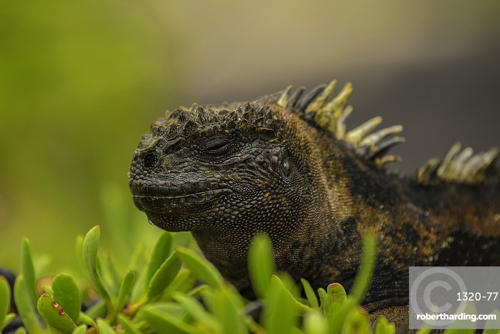 Sea Iguana sleeping on shrubs, Isabela Island, Galapagos, Ecuador, South America