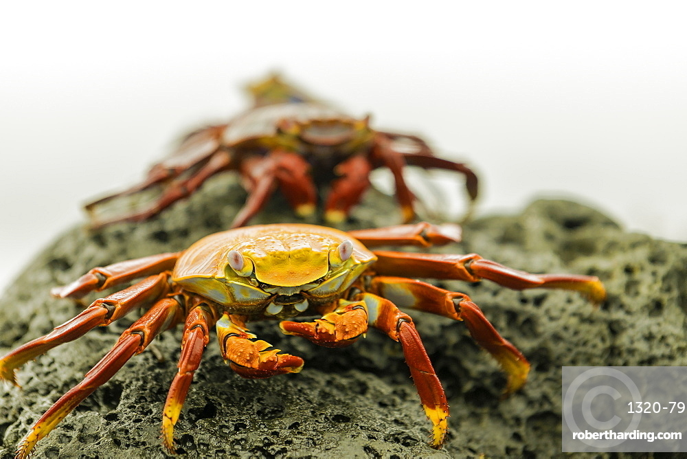 A line of Fiddler Crabs on a rocky beach, Isabela Island, Galapagos