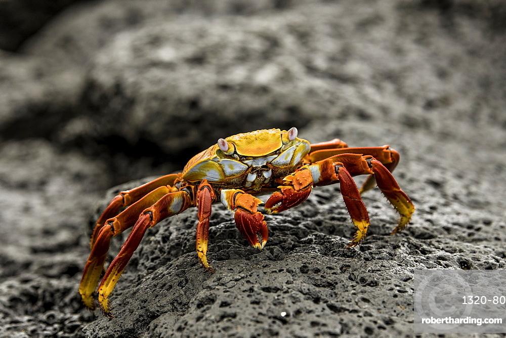 Fiddler Crab on a rocky beach, Isabela Island, Galapagos, Ecuador, South America