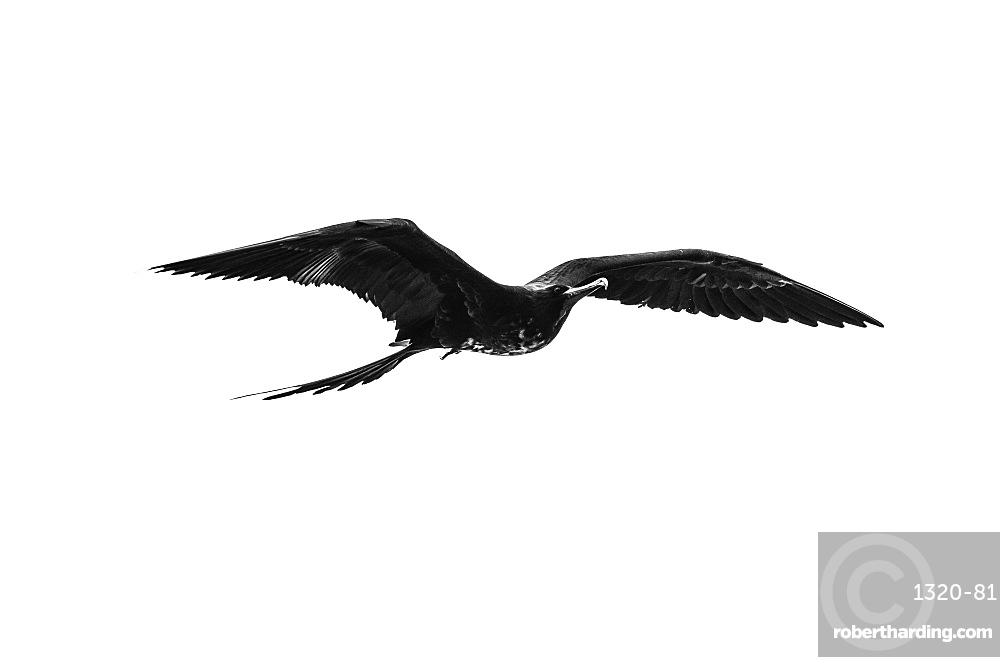 Red-bellied frigate bird in flight, Isabela Island, Galapagos, Ecuador, South America
