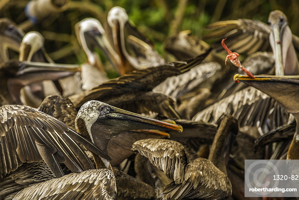 Brown Pelicans fighting over fish guts, Isabela Island, Galapagos