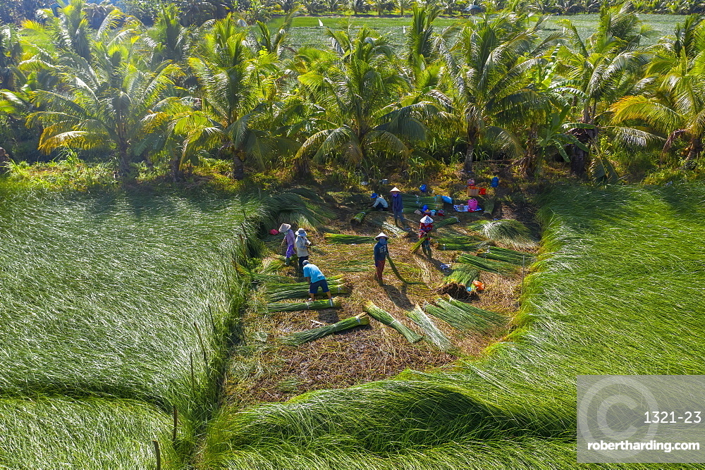 The farmers who grow and harvest sedge in Vung Liem, Vinh Long, Vietnam, Indochina, Southeast Asia, Asia