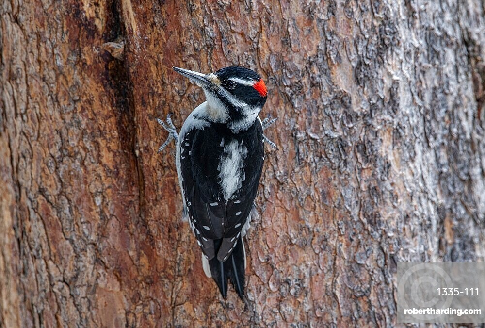 Hairy woodpecker (Leuconotopicus villosus), perched on tree trunk, Yellowstone National Park, UNESCO World Heritage Site, Wyoming, United States of America, North America