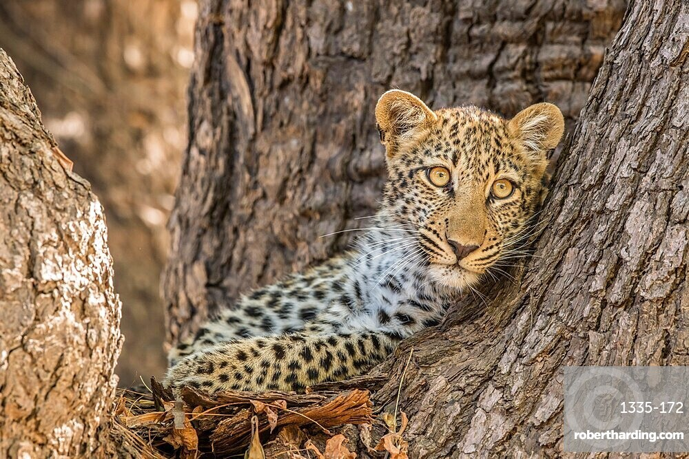 Young leopard (Panthera pardus) peering out from a tree, South Luangwa National Park, Zambia, Africa